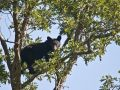 Black Bear in Acorn Tree 8425  411516812 O