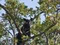 Black Bear in Acorn Tree   842 411520067 O