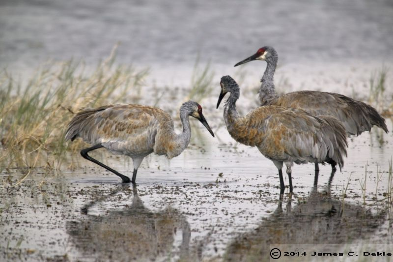 SAND HILL CRANES IN LAKE 63dv4 13792683 O