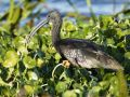 GLOSSY IBIS WITH BUG 63dv4504  13792672 O